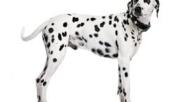 chien-adulte